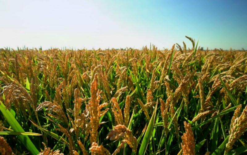ta canh dong lua chin que em vao mua gat - Tả cánh đồng lúa chín quê em vào mùa gặt