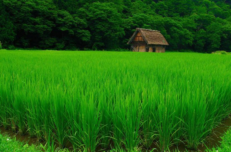 ta canh dong lua xanh vao buoi sang - Tả cánh đồng lúa xanh vào buổi sáng