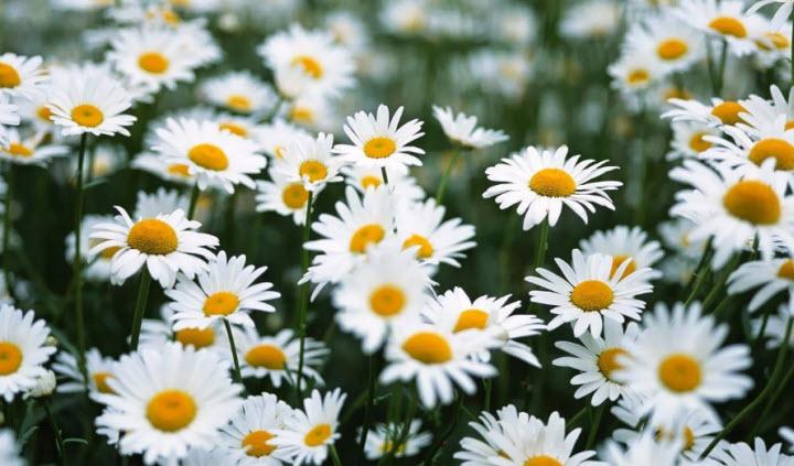 ta cay hoa cuc ma em nhin thay - Tả cây hoa cúc mà em nhìn thấy