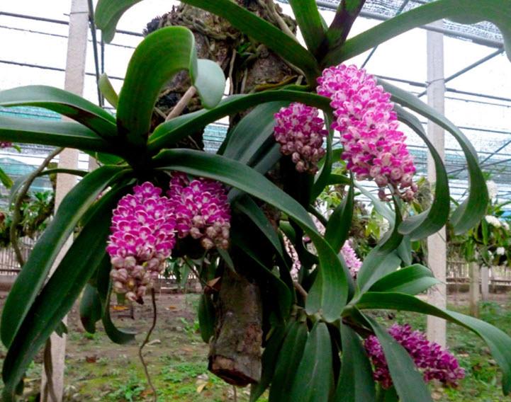 ta cay hoa lan nha em trong - Tả cây hoa lan nhà em trồng