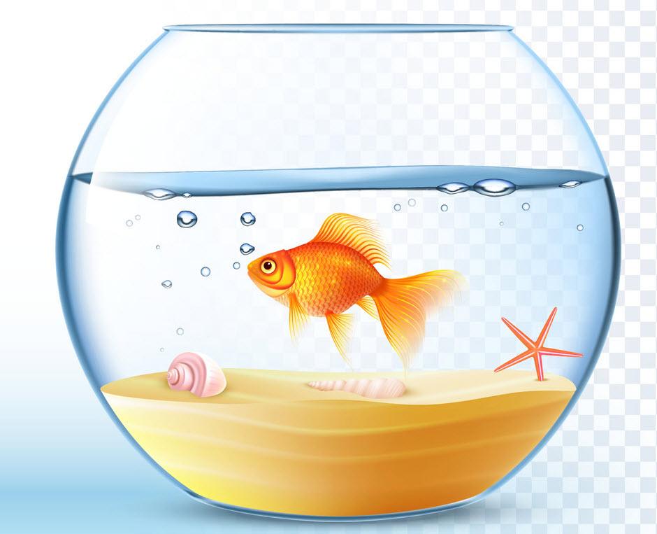 ta con ca vang trong be ca canh - Tả con cá vàng trong bể cá cảnh